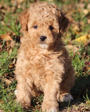 miniature poodle for sale near me