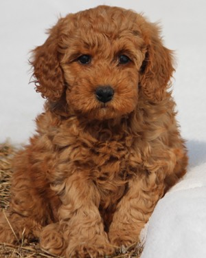 Teddy Bear Miniature Poodle Puppies